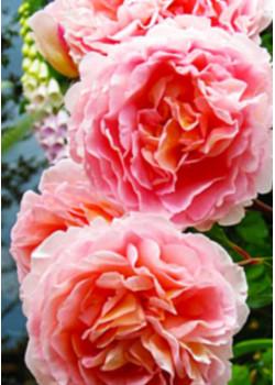 Роза английская Ариана